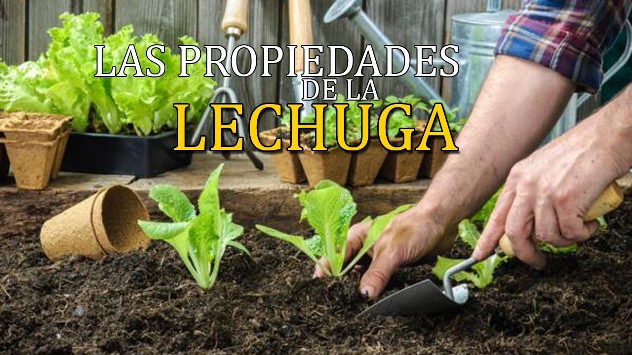 Las propiedades de la Lechuga